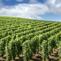 シャンパンで使用される葡萄の品種