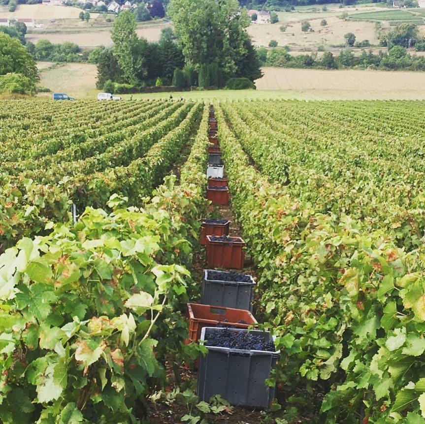 シャンパーニュ地方で葡萄の収穫が始まりました